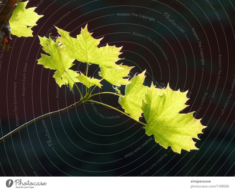 ... Maple tree Branch Leaf Twig Green Illuminate Summer Spring Fresh Outstretched Growth Maple branch Life Lamp