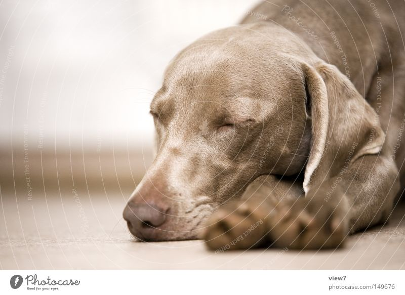 Lazy dog Dog Comfortable Sleep Fatigue Doze Paw Animal face Pelt Snout Lie Closed eyes Nose Head Weimaraner Puppy Cute Trust Ear Lop ears Calm Dream Goof off