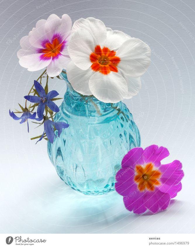 Three primroses with blue vase Primrose Spring Blossom Vase Glass Blue Violet Orange Pink White 3 spot of colour Flower Blossoming