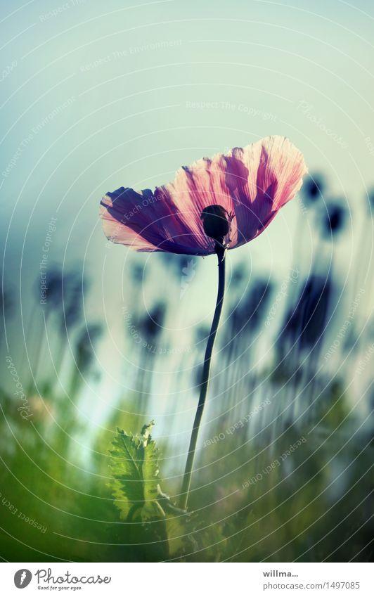 poppy - the diva Poppy blossom Opium poppy Poppy field Blossoming Elegant Summer Nature Plant Flower Esthetic Blossom leave Pink Green Back-light poppy flower