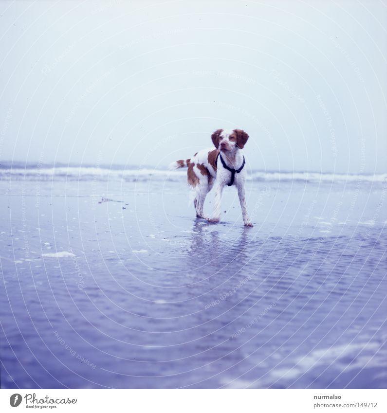 dog on the beach. Dog Beach Baltic Sea Water Salt Sea water Ocean Spain Hunting Hunter Lacking Speckled Pelt Wild animal To go for a walk Going Sand Sandy beach