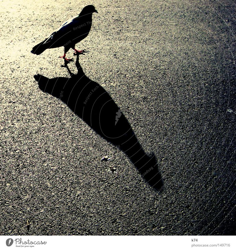 city bird Pigeon Back-light Street Tar Asphalt Light Shadow Bird Beak Feather Claw Dark side Shadow play Silhouette