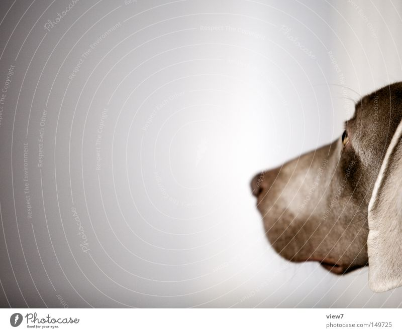 observation Dog Observe Alert Animal face Snout Nose Head Weimaraner Puppy Cute Ear Lop ears Calm Mammal Isolated Image Bright background Copy Space left