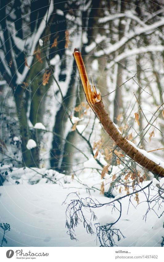 stalk fracture Branch Stick Broken shattered Log Breakage Winter Snow Forest Cold Fragment Forest walk Natural growth Nature