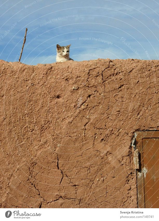 On the wall, on the lookout... Wall (barrier) Loam Cat Kitten Sky Beautiful weather Cute Sweet Summer Morocco Warmth Cozy Relaxation Crack & Rip & Tear Pet