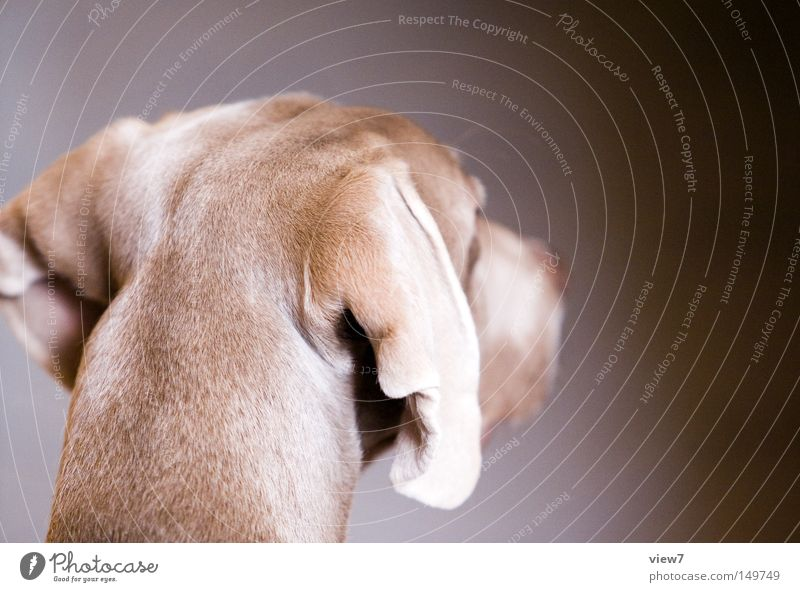 back of the head Dog Alert Pelt Snout Nose Head Weimaraner Puppy Cute Ear Lop ears Calm Beautiful Mammal Rear view Dog's head Isolated Image Copy Space right