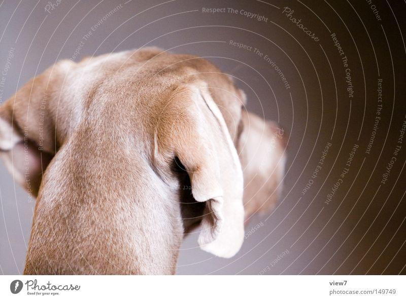 Beautiful Calm Head Dog Nose Ear Cute Pelt Pet Mammal Snout Animal Alert Puppy Hound Weimaraner
