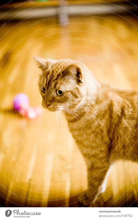 cool cat Watchfulness Cat Cute Concentrate Attentive Parquet floor Wooden floor Sepia Brown Domestic cat Nerviness Curiosity Playing Interior shot Ground level