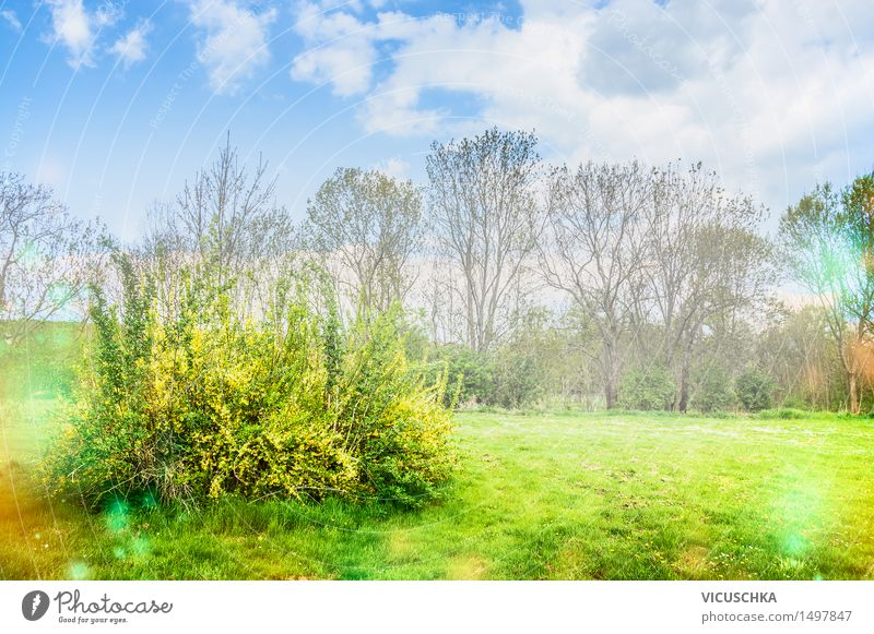 Flowering forsythia in the garden or park Design Garden Nature Plant Sky Sunlight Spring Beautiful weather Tree Bushes Leaf Blossom Park Blossoming Yellow April