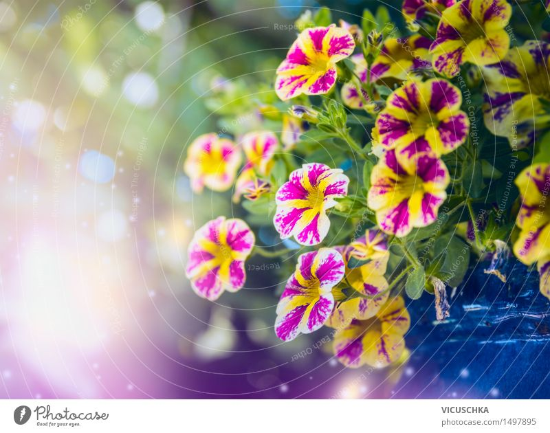 Beautiful petunias flowers in the garden Lifestyle Style Design Summer Garden Nature Plant Sunlight Spring Beautiful weather Flower Blossom Park Decoration