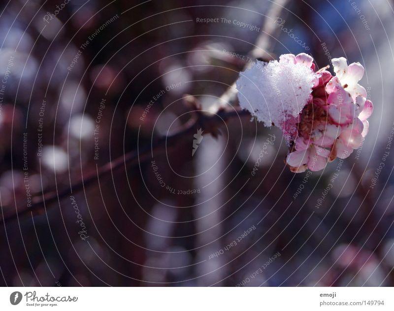 Flower Plant Winter Cold Snow Blossom Spring Pink Melt