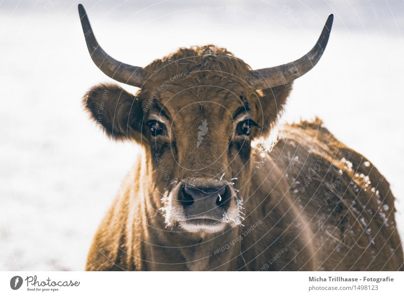 chill Winter Snow Agriculture Forestry Nature Animal Climate Ice Frost Pelt Farm animal Cow Animal face 1 Breathe Observe To feed Feeding Looking Stand Cold