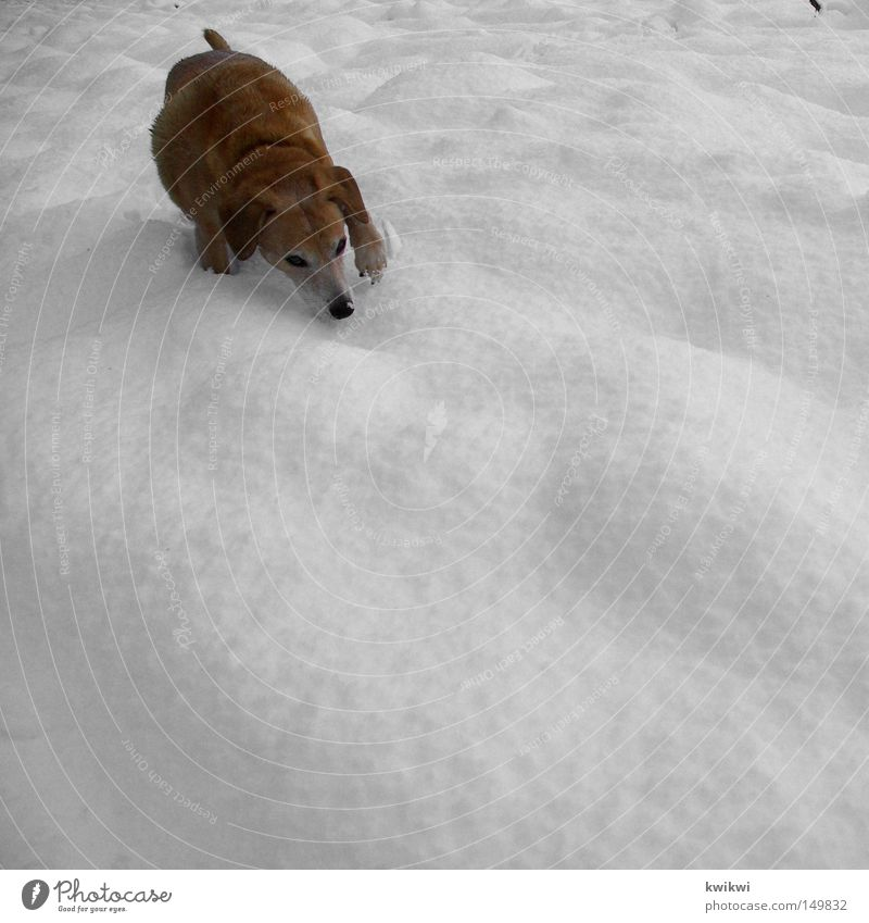 Winter Animal Cold Snow Dog Ice Walking Search Frost Hunting Freeze Odor Mammal Pet Find