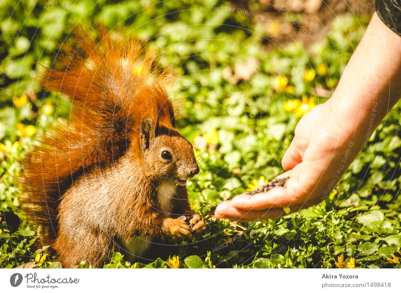 Feeding time II Nature Meadow Wild animal Squirrel 1 Animal To feed Friendliness Cute Brown Yellow Green Orange Black Acceptance Trust Hand Foraging