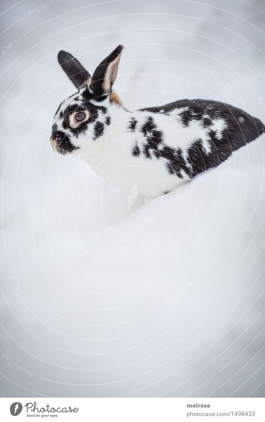 lateral entrants Style Pet Animal face Pelt Pygmy rabbit Hare & Rabbit & Bunny Rodent Mammal Hare ears Snout 1 Mountain hare Relaxation Sit Friendliness