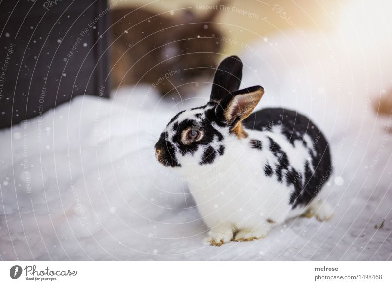White Relaxation Animal Black Life Snow Style Brown Snowfall Illuminate Elegant Gold Sit Cute Soft Break