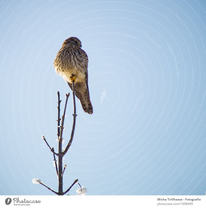 View bird of prey Environment Nature Animal Sky Cloudless sky Sunlight Beautiful weather Snow Wild animal Bird Animal face Wing 1 Observe To hold on Hunting Sit