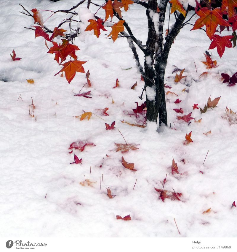 Nature Tree Plant Red Winter Leaf Black Yellow Colour Cold Snow Autumn Garden Park Brown Lie