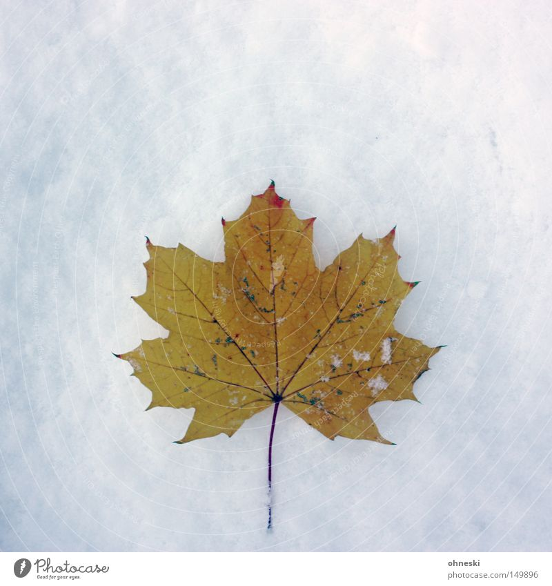 ..., autumn and winter Winter Snow Autumn Ice Frost Leaf Cold White Transience Maple tree November Snowflake Powder onset of winter Canada Thank you Carl
