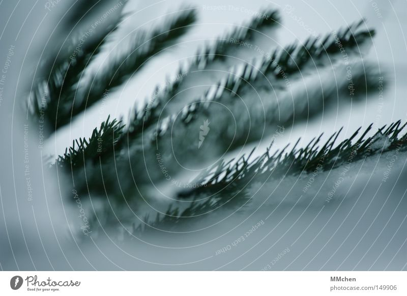 Green White Winter Cold Snow Frost Twig Fir tree
