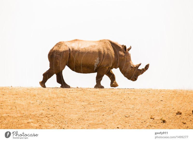 rhinoceros Environment Nature Landscape Sand Sky Sun Sunlight Spring Summer Beautiful weather Warmth Drought Desert Animal Wild animal Animal face Animal tracks