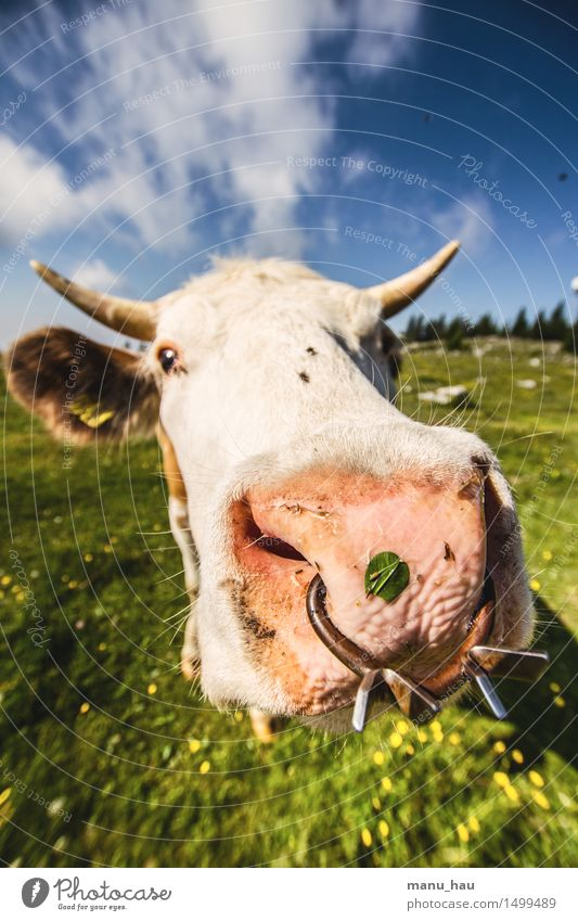 fashionable bull Vacation & Travel Tourism Trip Adventure Summer Summer vacation Mountain Hiking Nature Meadow Animal Farm animal Cow 1 Joy Happy Happiness