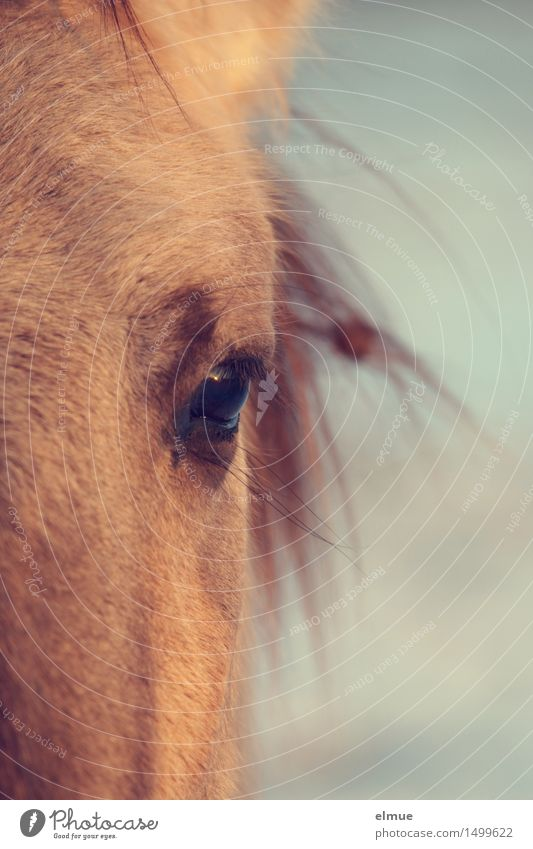 evening sun Horse Wild horses Eyes Horse's eyes Eyelash Wink Intimacy Observe Glittering Communicate Illuminate Looking Esthetic Blonde Elegant Near Natural