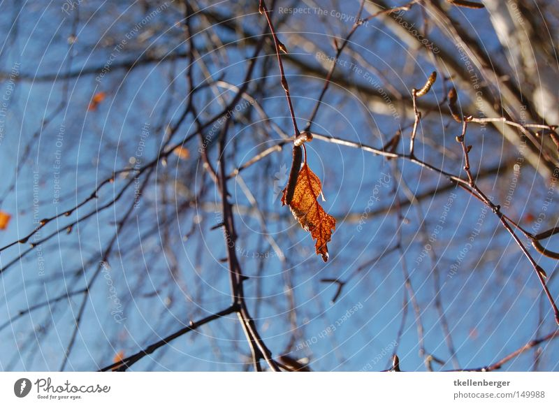 solitary Leaf Tree Branch Twig Wood Firewood Heat Sky Blue Red Brown Heavy Feeble Nature Autumn Winter Clouds Shoot Loneliness Individual Background picture
