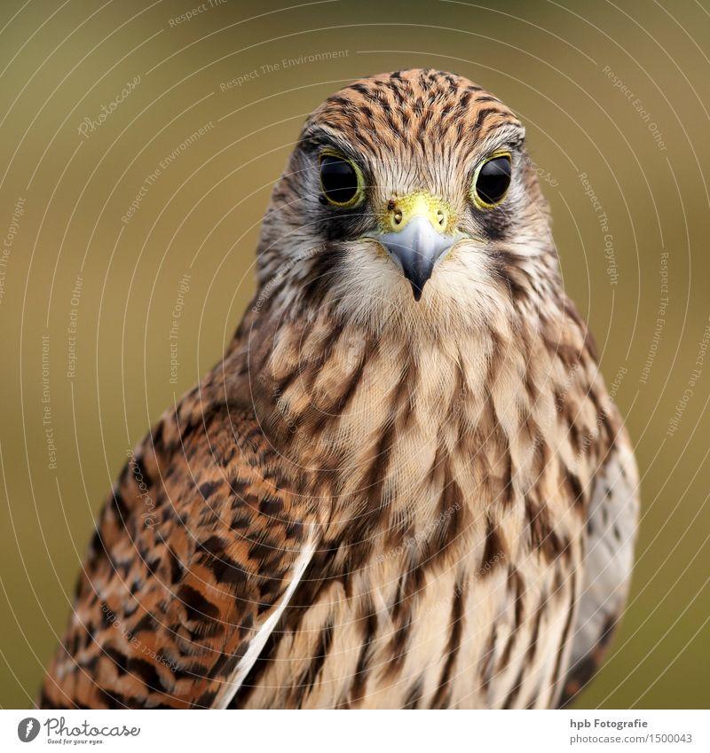 Nature Beautiful Animal Feminine Think Flying Brown Moody Bird Wild Elegant Wild animal Esthetic Sit Wing Speed
