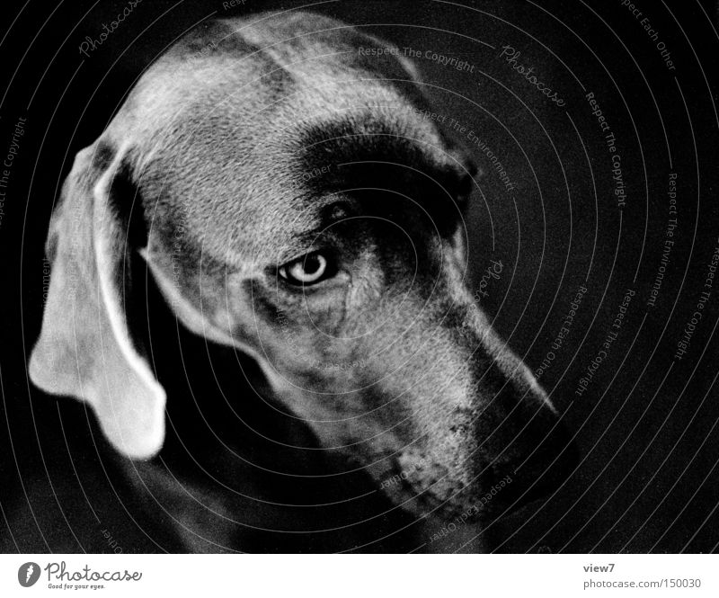 diva Dog Alert Animal face Pelt Snout Nose Head Weimaraner Puppy Cute Ear Lop ears Calm Mammal Black & white photo Beautiful Dog's head Dog eyes Dog's snout