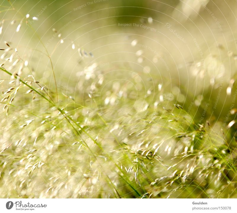 hay fever Grass Hope Nature Green Hay Summer Meadow Leisure and hobbies Wind Time Dream Environment Healthy