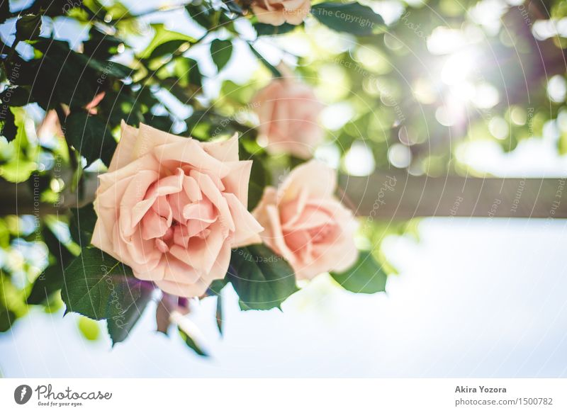 floral greeting Nature Plant Sky Cloudless sky Sun Summer Beautiful weather Flower Rose Garden Park Blossoming Fragrance Glittering Illuminate Growth Kitsch