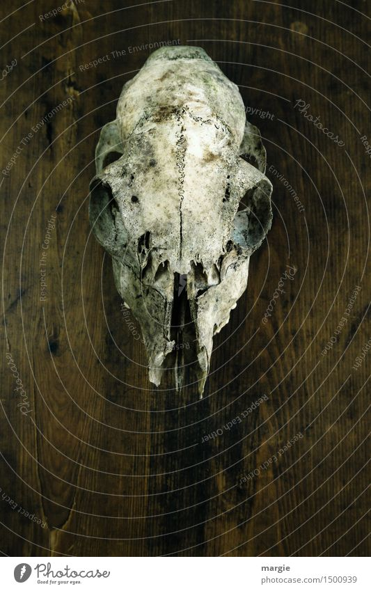 Gallery of ancestors: A skull hanging on a wooden wall Animal Wild animal 1 Wood Crazy Brown White Fear Horror Whimsical Death Animal skull Skeleton