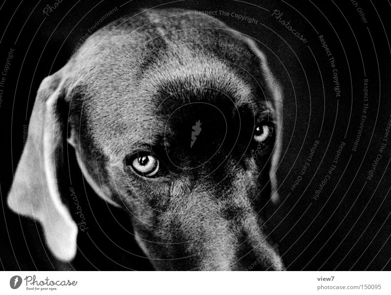 instant Dog Looking Animal face Pelt Snout Head Weimaraner Puppy Cute Ear Black & white photo Beautiful Mammal Lop ears Looking into the camera Puppydog eyes