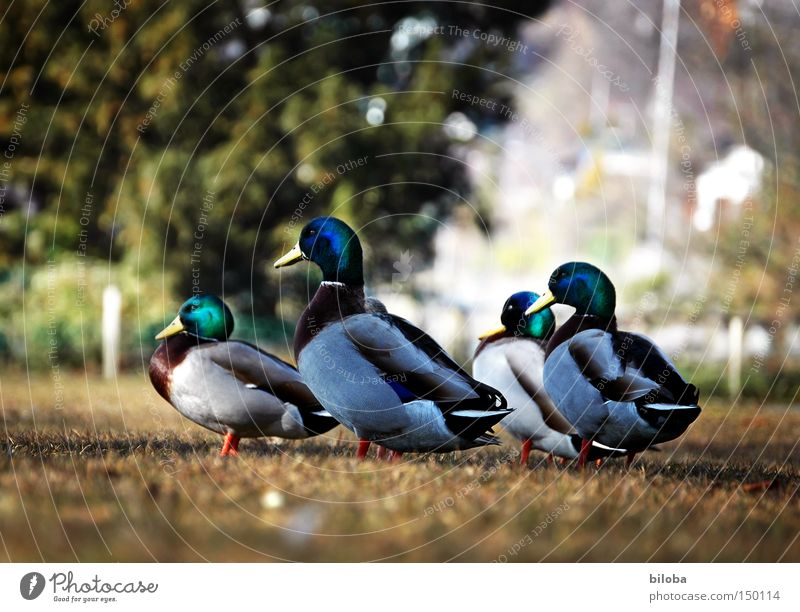 Animal Life Lake Together Bird Trip 4 Joie de vivre (Vitality) Forwards Direction Lakeside Duck Beak Poultry March Waddle