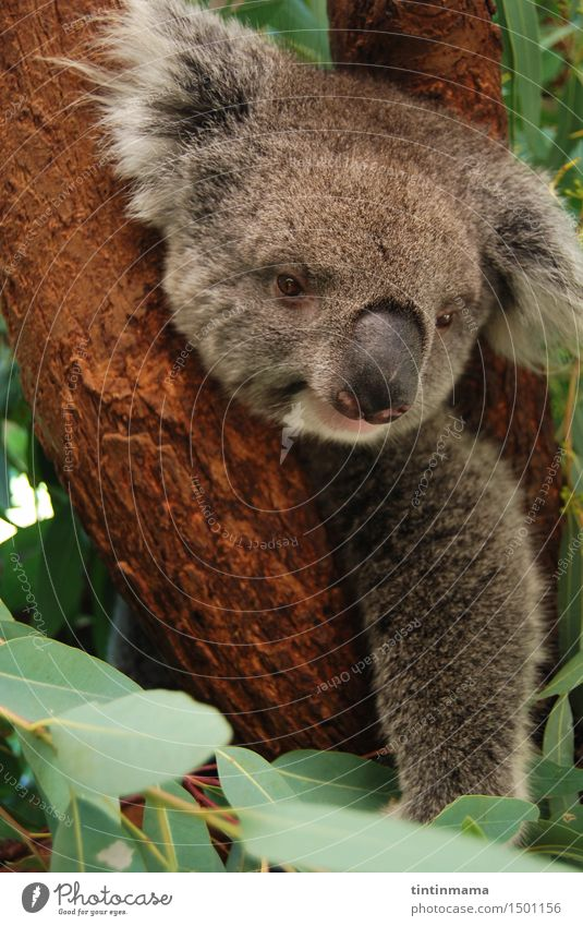 koala staring at you on the tree Animal Joy Happy Think Brown Wild Free Wild animal Sit Happiness Smiling Observe Cute Soft Cool (slang) Friendliness