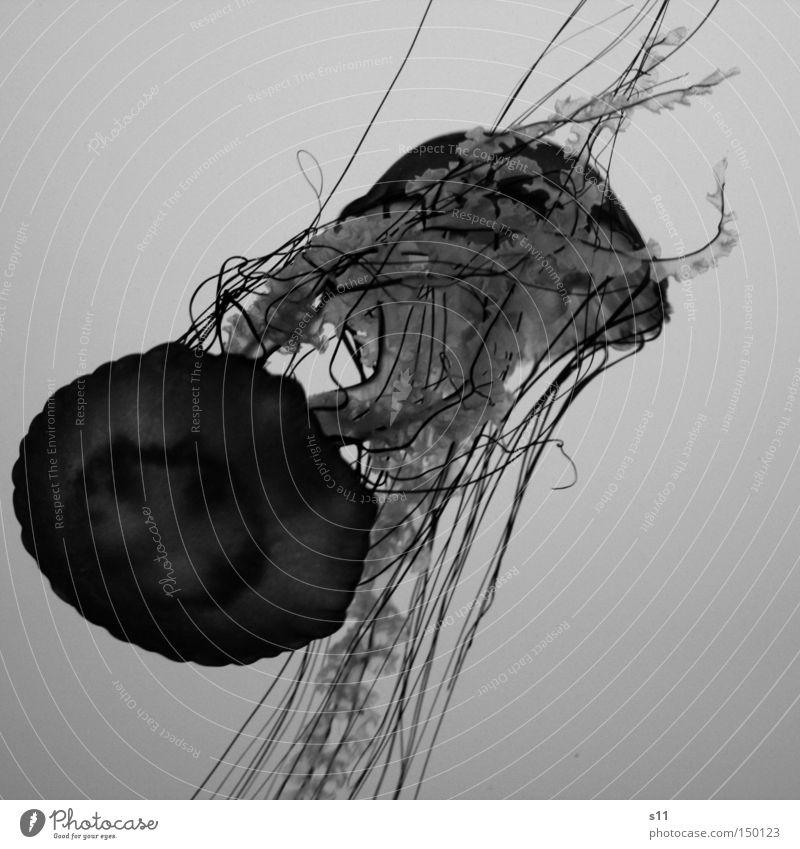 Water Ocean Beach In pairs Living thing Burn Deep Aquarium Poison Jellyfish Slimy Sea water Mollusk Nettle animal