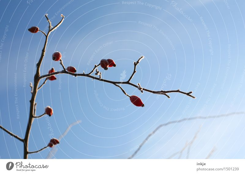 chill Nature Plant Cloudless sky Winter Beautiful weather Ice Frost Bushes Rose hip Branch Twig Hang Cold Blue Red Climate Frozen Colour photo Exterior shot