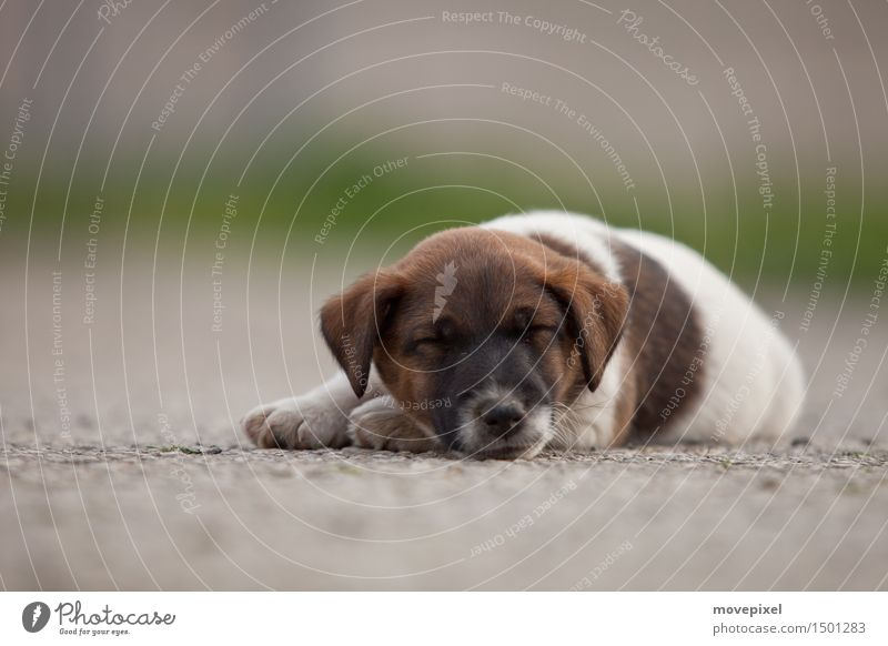 Dog Summer Calm Animal Baby animal Street Spring Dream Growth Cute Sleep Pet Paw Love of animals Puppy Fox terrier