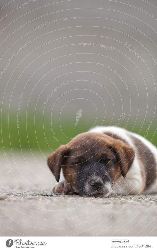 Dog Animal Baby animal Street Dream Sleep Pet Puppy Fox terrier