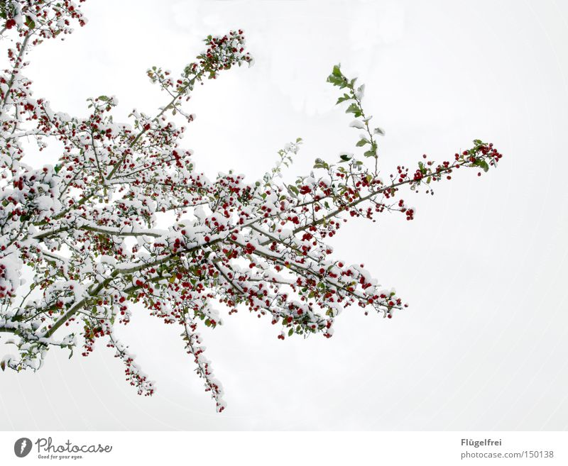 50 polar bears, uh... snowberries Winter Snow Ice Frost Tree Wood Hang Cold Many Green Red White Branch Delicate Berries Frozen Multiple To go for a walk