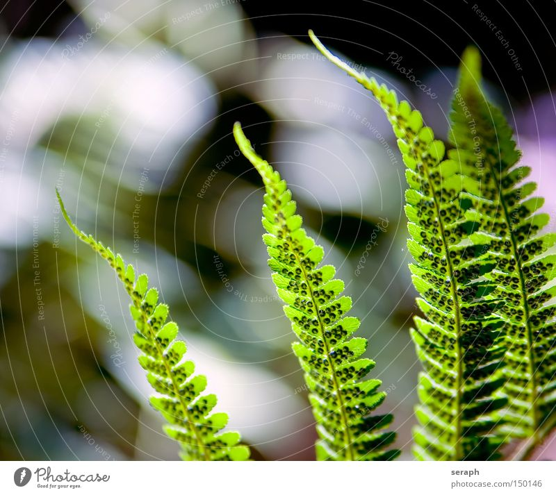 Ferns Nature Plant Background picture Growth Botany Verdant Rachis Pteridopsida Floral Leaf green Maturing time Fern leaf
