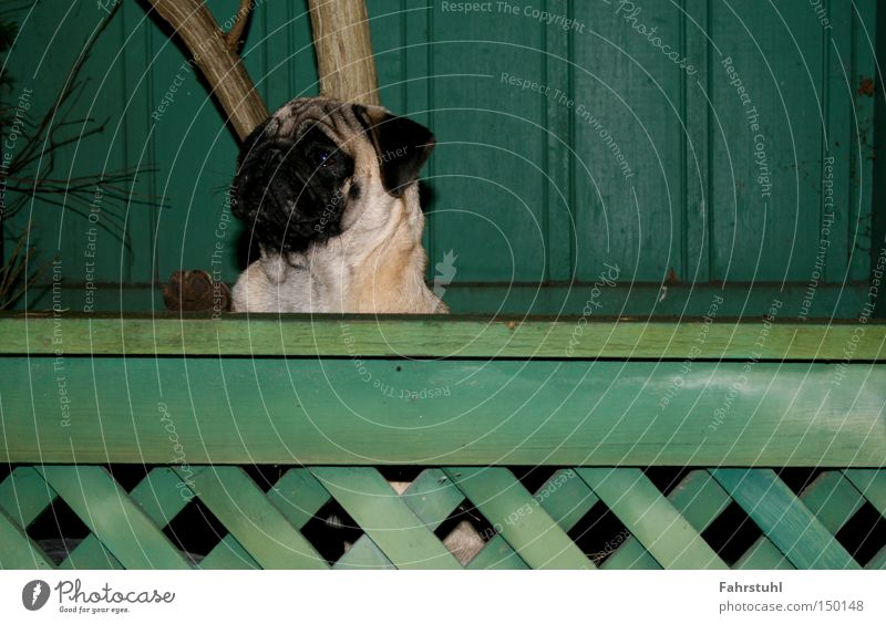 Tree Green House (Residential Structure) Animal Wall (building) Dog Barrier Fence Pug Watchdog
