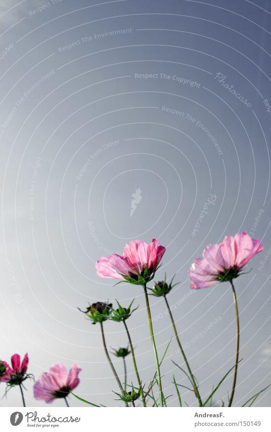 Cosmea Cosmos Summer Sky Flower Blossom Summerflower Pink Beautiful weather Nature Flower meadow Meadow Blue sky