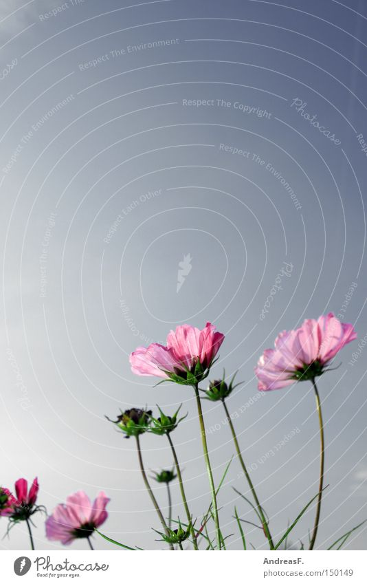 Sky Nature Summer Flower Meadow Blossom Pink Beautiful weather Blue sky Flower meadow Aster Cosmos Illness Summerflower