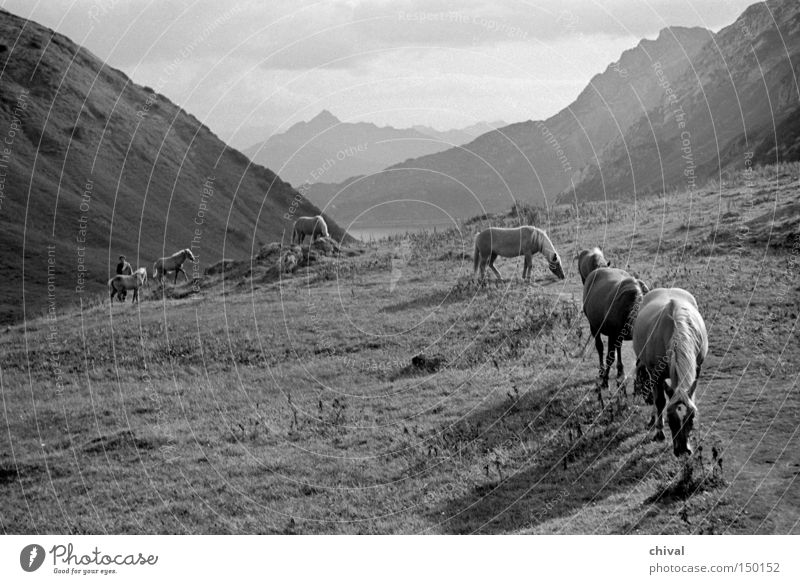 Haflinger on the wayside Mountain Alps Horse Lanes & trails Mountaineering Pasture Alpine Panorama (View) Valley Alpine pasture Herd Black & white photo Mammal