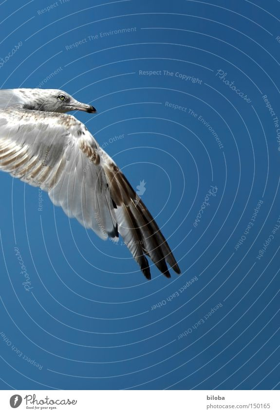 flying weather Seagull Flying Bird Freedom Sky Blue Beak Eyes Pride Peace Gull birds Animal Wing Feather Isolated Image Partially visible Detail