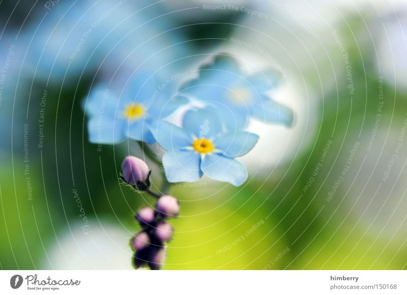 forget my not Forget-me-not Flower Blossom Botany Plant Floristry Invitation Joy Surprise Spring Background picture Park