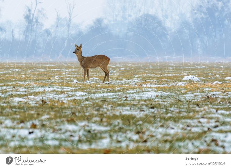 Lonely deer in the cold Nature Landscape Plant Animal Winter Fog Ice Frost Snow Meadow Field Forest Wild animal Animal face Pelt Roe deer 1 Stand