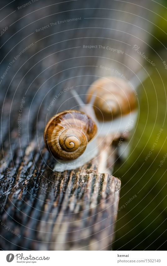 Follow me inconspicuously. Trip Animal Wild animal Snail Snail shell Vineyard snail Large garden snail shell 2 Pair of animals Crawl Sit Authentic Together